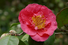 Vivid pink Camellia flower (Monceau) Tags: vivid pink camellia flower bloom parcfloral paris