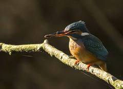Fisher king (Jaedde & Sis) Tags: isfugl kingfisher alcedoatthis fish catch challengefactorywinner unanimous thechallengefactory storybookwinner friendlychallenges bbq