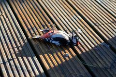 The Dead Woodpecker - DSCF3661 (s0ulsurfing) Tags: s0ulsurfing 2017 april isle wight bird colourimage dead death decking domesticgarden greatspottedwoodpecker horizontal isleofwight nopeople outdoors photography totlandbay uk woodpecker