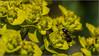 Zypressen-Wolfsmilch (ludwigrudolf232) Tags: euphorbia cyparissias zypressen wolfsmilch