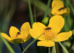 Caltha palustris (Ramunė Vakarė) Tags: calthapalustris plant kingcup nature ranunculaceae caltha yellow bloom blossom swamp lithuania eičiai ramunėvakarė fly insect wildflowers