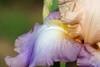 DSC08648 (Shutter_Hand) Tags: texas usa miguelmendozamuñoz clarkgardens botanicalpark weatherford mineralwells secretgarden parquebotánico jardinbotánico botanico jardin jardinsecreto texasgem texasjewel lenscraft sonyaf100mmf28macro macro sony alpha a99 sonyalphaa99 slta99 flor flower fleur iris flordelis