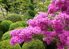 Rhododendron and Common Box (Fijgje On/Off) Tags: box commonbox buxussempervirens buxus rhododendron fijgje panasonicdmctz60 mei2017 tuindagenbeervelde oostvlaanderen belgië belgium
