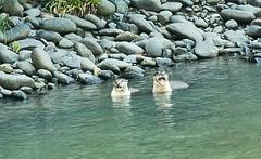 BO1_7327 (lucvanderbiest) Tags: riverotter rivierotter borneo maleisië sabah danumvalleywildlifereserve