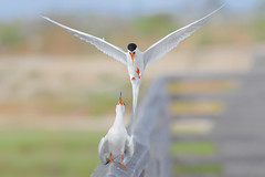 Courting (bmse) Tags: forsters terns courting bolsa chica bmse salah baazizi wingsinmotion canon 7d2 400mm f56 l