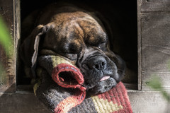 19/52 - The series of Porthos and his naps continues (Valentina Conte) Tags: porthos 52weeksfordogs framed carpet cute boxer dog portrait animal snap dreaming sleeping slumber nose muzzle canon100d rebelsl1 valentinaconte tamron90