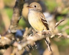 least flycatcher at Cardinal Marsh IA 854A6351 (lreis_naturalist) Tags: least flycatcher cardinal marsh winneshiek county iowa larry reis