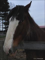 A Big Boy !! (John Neziol) Tags: kjphotography horseandfriends nikon nikondslr nikoncamera horse horsephotography outdoor closeup clydesdale pet portrait equine