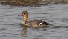 7K8A5992 (rpealit) Tags: scenery wildlife nature edwin b forsythe national refuge redbreasted merganser duck bird