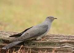 Cuckoo-2761 (Kulama) Tags: cuckoo birds nature wildlife woods land grass spring canon7dmarkii sigma150600563c