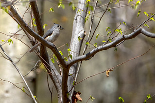 Tufted Titmouse (with prey)