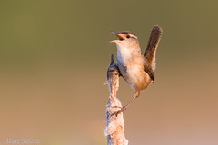 Marsh Wren (Matt F.) Tags: marsh wren bird nature marshwren singing