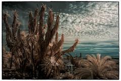 Costa i Llobera #006 (Ar@lee) Tags: barcelona catalunya jardinescostaillobera montjuïc fullspectrum fotografíainfrarroja photographyinfrared nikond50 cactus plantassuculentas d50 filter720nm paisaje airelibre bordeparafotos palmera árbol barcelonaexperience colours clouds nubes espectrecomplet garden ir sky trees