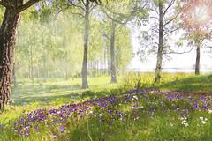 Oh What a beautiful morning (BirgittaSjostedt) Tags: landscape nature outdoor field flower wild tree sea haze fog morning sun scene serene light texture paint birgittasjostedt magicunicornverybest ie