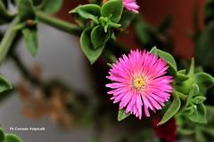 Carpobrotus (Corrado Volpicelli) Tags: plant plants flower mediterranian fiore fiori piante violet pink violetto rosa giallo verde nature natura spring primavera