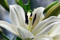 Ballerinas (Pensive glance) Tags: lily lilium lys fleurdelys flower fleur plant plante