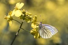 butterfly (Bea Antoni) Tags: nahaufnahme closeup tamron canon makro macro canolafield canola blühen blooming rapsfeld rapefield rape raps yellow gelb insekt insect schmetterling butterfly