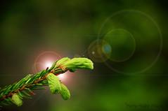 Nouveaux nés ... ( P-A) Tags: printemps bourgeons nouvellepousse vert tendre forêt balade observation découverte parcdelagatineau photos simpa© le monde merveilleux de la photo