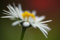 Miss Daisy (Stefan Zwi.) Tags: daisy gänseblümchen macro blume flower wild wildblume 105mm f28 sigma sony a7 ilce7 emount farbe flora closeup nature background ngc npc