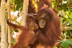 BOR_9639 (lucvanderbiest) Tags: orangoetang borneo maleisië sabah sepilok orangoetangrehabilitationcenter