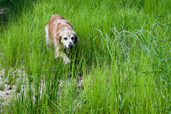 C.J. on the prowl - Hartwell Lake S.C. (DT's Photo Site - Anderson S.C.) Tags: canon 6d sigma 50mm14 art lens lake hartwell andersonsc upstate south carolina dog pet golden retriever backwaters southernlife prowl stalk