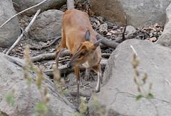 Muntjak, Muntjac, barking deer (gerhard.mauracher) Tags: indien india kanha muntjak muntjac barkingdeer