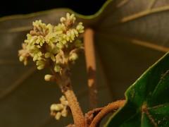 Mallotus ferrugineus ♂ (Roxb.) Müll.Arg.