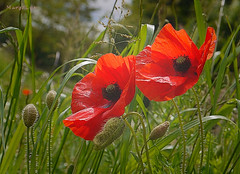 In The Meadow ... (MargoLuc) Tags: poppies time may season lovely flowers red wildflowers spring meadow green grass bokeh sunlight outdoor