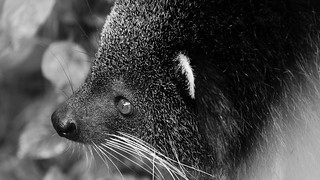 One Animal Close-up Animal Themes Animal Head  Mammal Animals In The Wild Animal Wildlife No People Day Outdoors Nature Bearcat Binturong