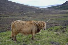 HIGHLAND CATTLE, ISLE OF SKYE  -  (Selected by GETTY IMAGES) (DESPITE STRAIGHT LINES) Tags: heilancoo highlandcow highlandcows kyloe cow cattle heilancoosinscotland highlandcattleinscotland horns day cloud landscape nikon d800 nikond800 nikon2470mm nikkor2470mm paulwilliams despitestraightlines flickr getty gettyimages highlands scottishhighlands boghaidhealach brindled fur grass field pasture farm farming hoof hooves dof photo photography frame raw image animal sconser luib lochainort isleofskye lochsligachan lochcairidh gettyimagesesp despitestraightlinesatgettyimages paulwilliamsatgettyimages