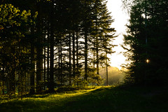 Finding peace in a frantic time (Rind Photo) Tags: sunset light beautiful sunbeams beams atmosphere trees forest art peaceful peace frantic rindphoto clauschristoffersen lowlight lowkey yellow silhouettes landscape landschaft tree sun sunlight green nature bright