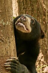 BOR_8552 (lucvanderbiest) Tags: sunbear maleisebeerofhoningbeer borneo maleisië sabah sepilok sunbearconservationcenter