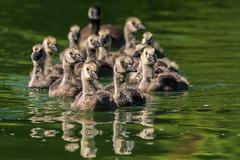 A Family Affair (MelRoseJ) Tags: sanfrancisco california unitedstates nature northerncalifornia goldengatepark birds bayarea a77ii alpha autofocus sonyalpha sal70400g sony sonyilca77m2 canadiangoose goslings