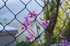 - (Giorgi Roberta) Tags: flower fiore purple violet viola nature natura allaperto outdoor net rete green summer spring colours colour colori primavera estate cielo sky blue out