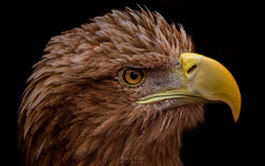 The Phoenix (Adam West Photography) Tags: adamwest animal beak beautiful beauty bird birdofprey eagle eye feathers hebrides island nature phoenix raptor scotland sea seaeagle southuist uk westernisles whitetailed explore