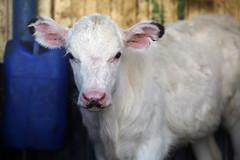 pawu014 (Otwarte Klatki) Tags: krowa krowy mleko zwierzęta cielak ferma andrzej skowron