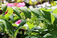 Salomon Siegel (Elbmaedchen) Tags: pflanze spargelgewächs salomonsiegel plant