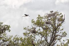 _DSC7800 Housing Project (Charles Bonham) Tags: kensingtonmetropark michigan wildlife bird waterbird blueheron nests tree shorebird olympusom300mmf45 sonya7r charlesbonhamphotography water lillypads allege swamp outdoor