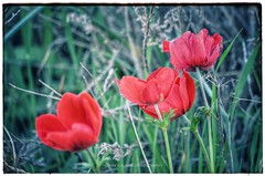 #الأردن #عمان #مرج_الحمام #امعبهرة #شقائق_النعمان #ربيع #أزهار #تصوير #تصويري #شقائق #أزهار #زهور  #jordan #hkj #anemones #anemone #spring #amman #marj_alhamam #umabharah #myphoto #photography #flower #flowers #floral (alrayes1977) Tags: الأردن عمان مرجالحمام امعبهرة شقائقالنعمان ربيع أزهار تصوير تصويري شقائق زهور jordan hkj anemones anemone spring amman marjalhamam umabharah myphoto photography flower flowers floral
