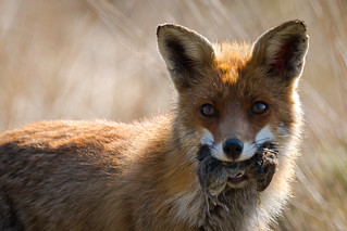 Vos  (Red Fox)