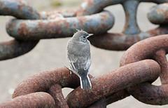 Pied Wagtail Fledgling! (RiverCrouchWalker) Tags: fledgling bird piedwagtail chatham kent historicdockyard chain rust may 2017 spring dockyard motacillaalba