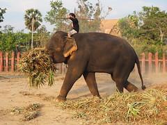 Ayutthaya - Elephant at work (sharko333) Tags: travel reise voyage asia asien asie thailand ayutthaya พระนครศรีอยุธยา street man elephant olympus em1