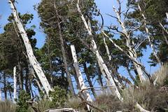 Oceanside, Oregon beach (nikname) Tags: oceansideor weatheredtreesoceanside oceansidebeach oceansideorbeach oregonbeaches netartsbay netartsbayor pacificnwbeaches oregoncoast sandybeaches rockybeaches rocks trees