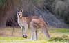 Eastern Grey Kangaroo (Forrester's) (Australia's Wildlife) Tags: tasmania kangaroo eastern grey forresters maria