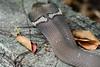Cobra Hood 3 (Bob Hawley) Tags: asia taiwan metropolitanpark kaohsiung nikond7100 nikon70210mmf456d outdoors nature wildlife creatures reptiles herpetology poisonous venomous najaatra chinesecobra snakes ditches drains hoods skin scales
