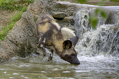 Testing the waters (ucumari photography) Tags: ucumariphotography cincinnati zoo ohio april 2017 africanwilddog painteddog lycaonpictus animal mammal dsc1907 specanimal