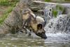 Testing the waters (ucumari photography) Tags: ucumariphotography cincinnati zoo ohio april 2017 africanwilddog painteddog lycaonpictus animal mammal dsc1907 specanimal