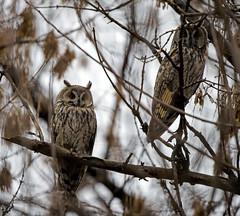 Long-eared Owls (fr@nspelsmaekers) Tags: asiootus hiboumoyenduc ransuil waldohreule longearedowl