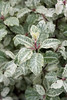 Pittosporum tenuifolium 'Irene Paterson' (MGormanPhotography) Tags: pittosporum tenuifolium irenepaterson pittosporaceae tawhiwhi kohuhu green white cream foliage dark black stem