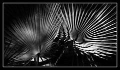 Swirl (toletoletole (www.levold.de/photosphere)) Tags: fujixt2 marokko zagora morocco bw abstract blätter sw leaves pallm abstrakt palmen